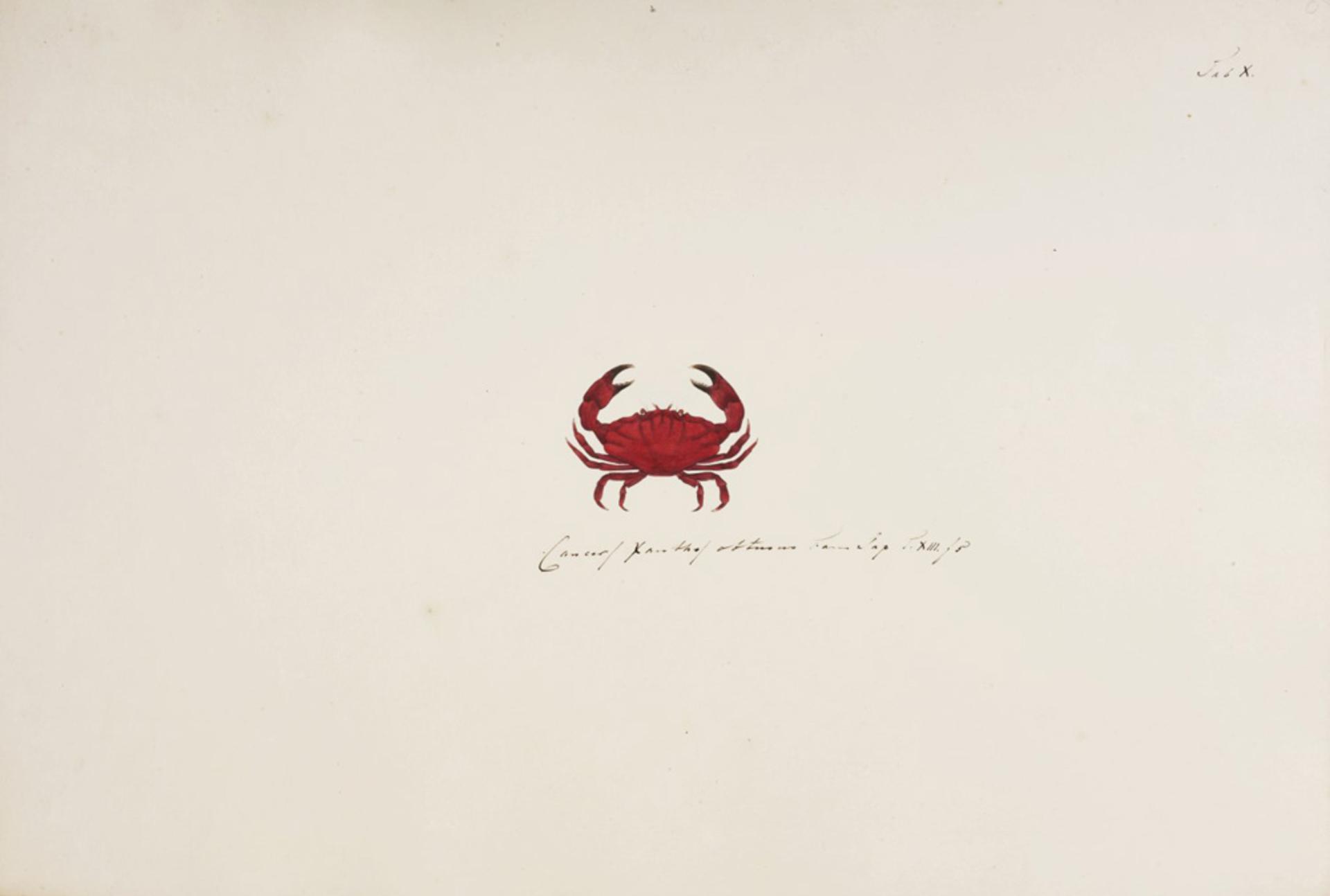 RMNH.ART.7 | Liomera venosa