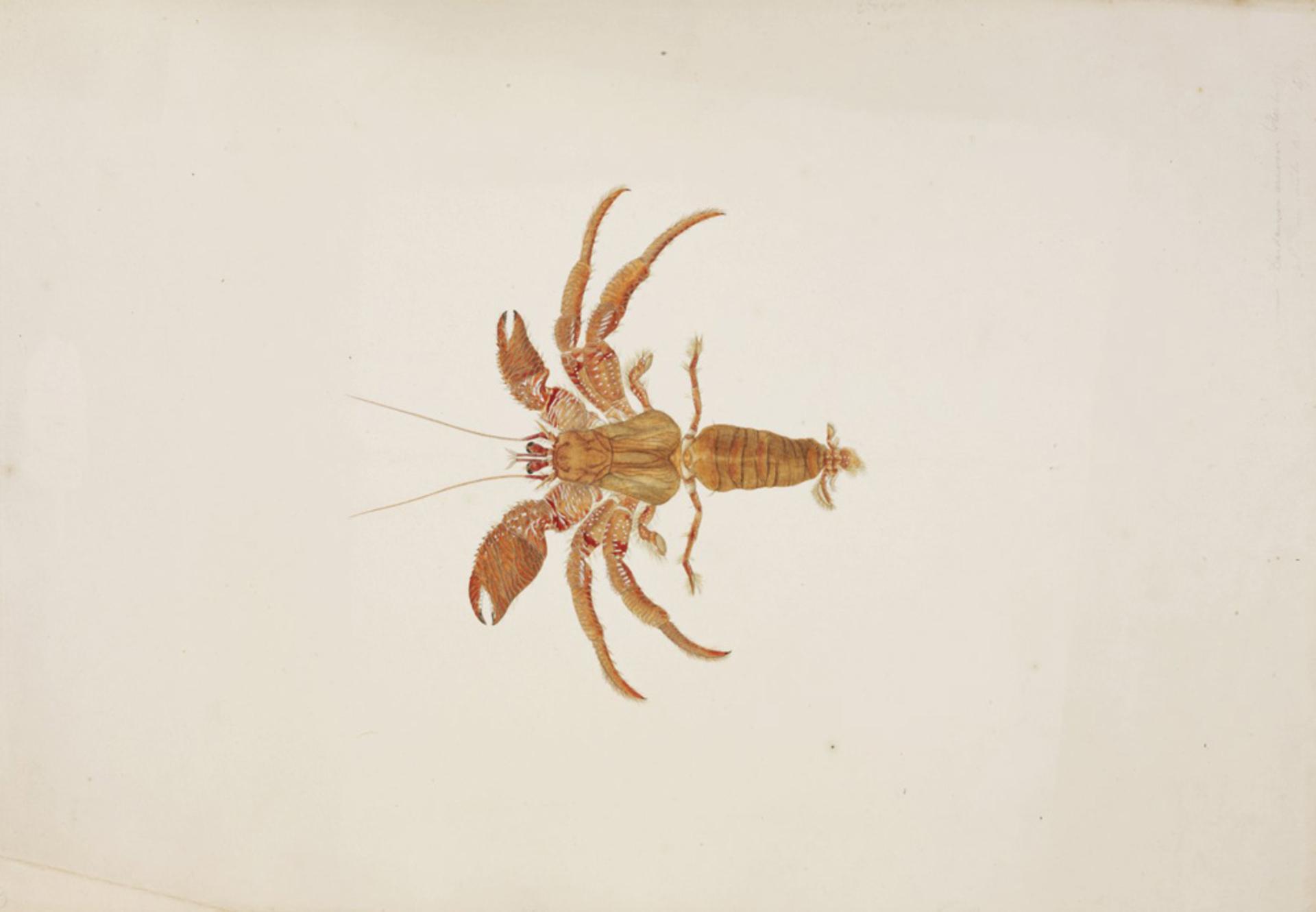 RMNH.ART.70 | Dardanus arrosor