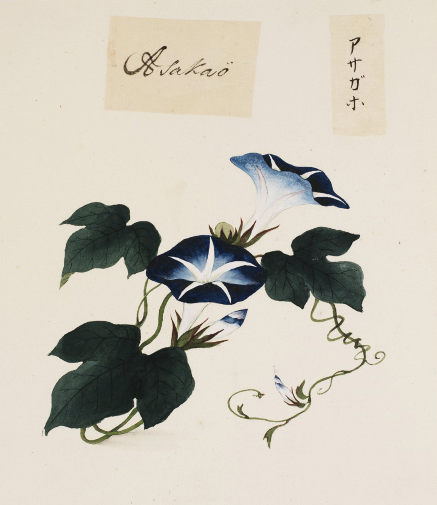 RMNH.ART.702 | Ipomoea nil
