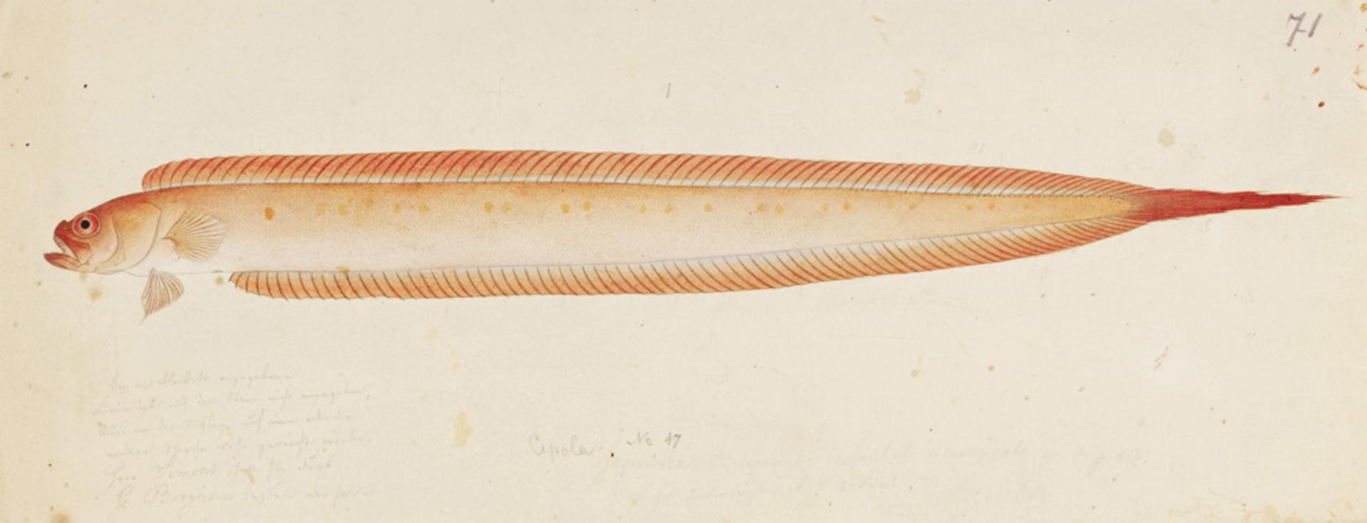 RMNH.ART.705 | Acanthocephala krusensterni