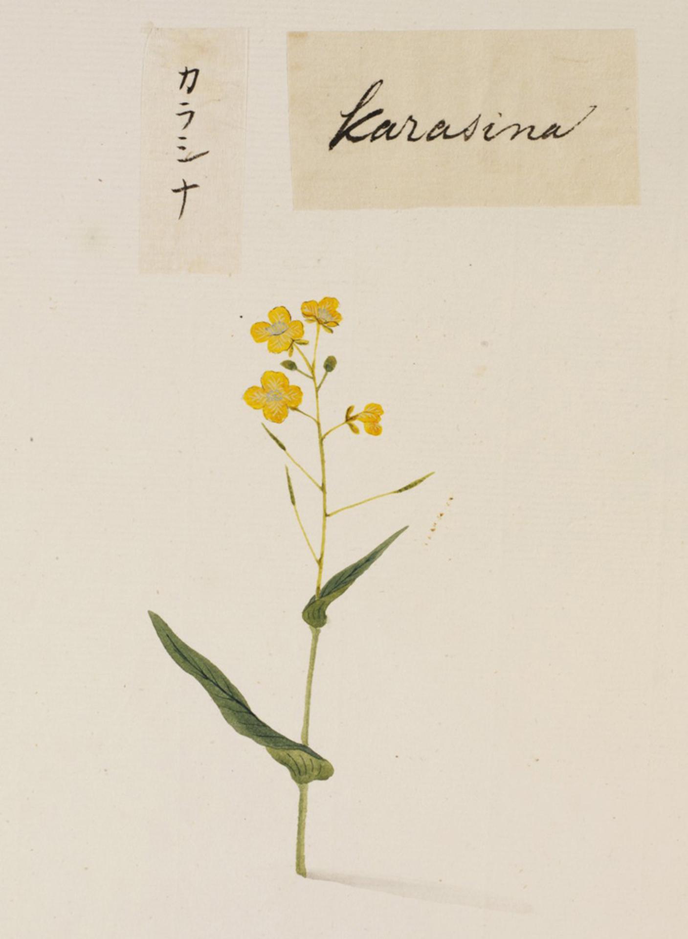 RMNH.ART.711   Brassica juncea