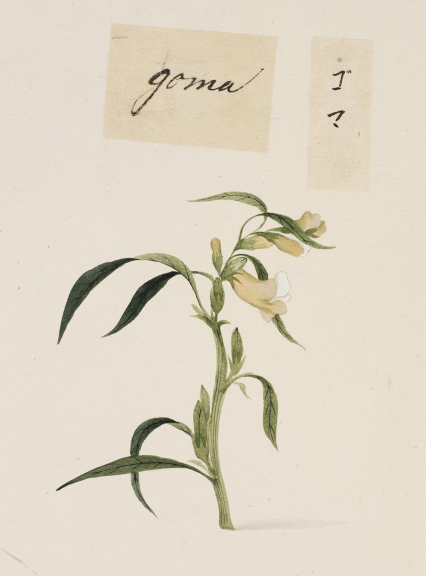 RMNH.ART.712 | Sesamum indicum
