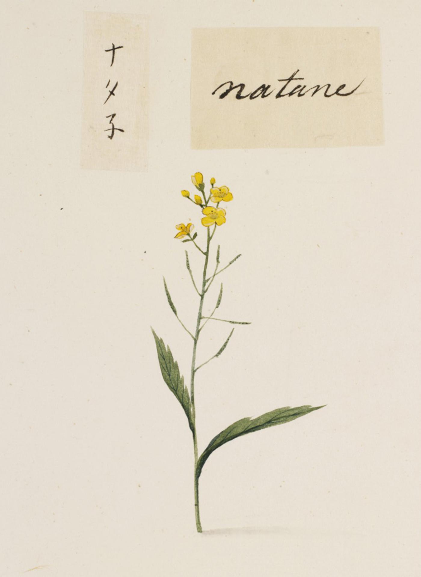 RMNH.ART.715 | Brassica rapa