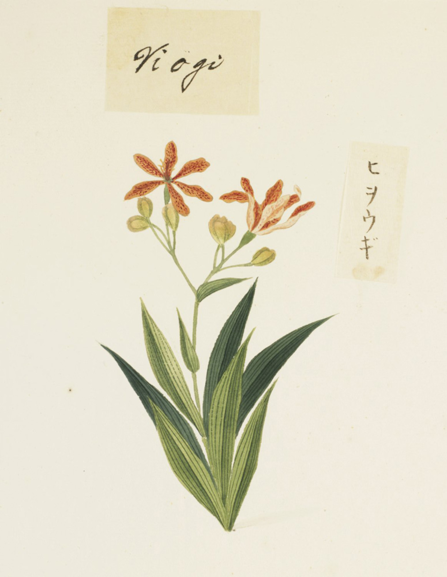 RMNH.ART.720 | Belamcanda chinensis