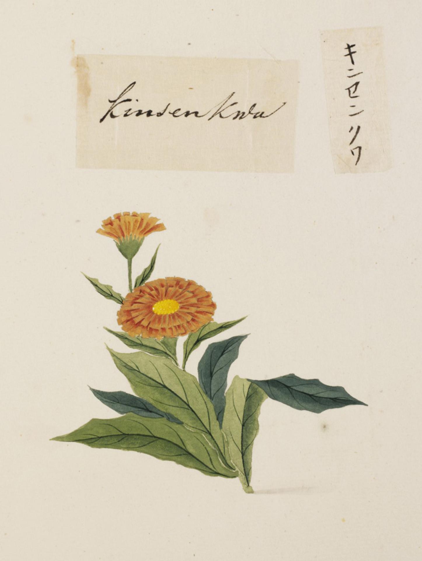 RMNH.ART.725 | Calendula officinalis