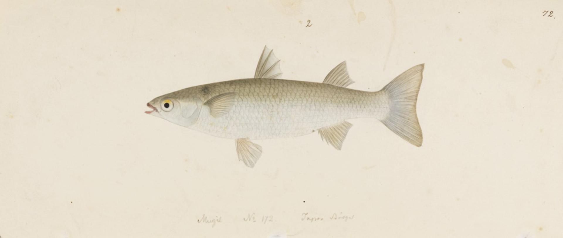 RMNH.ART.726 | Liza haematocheila