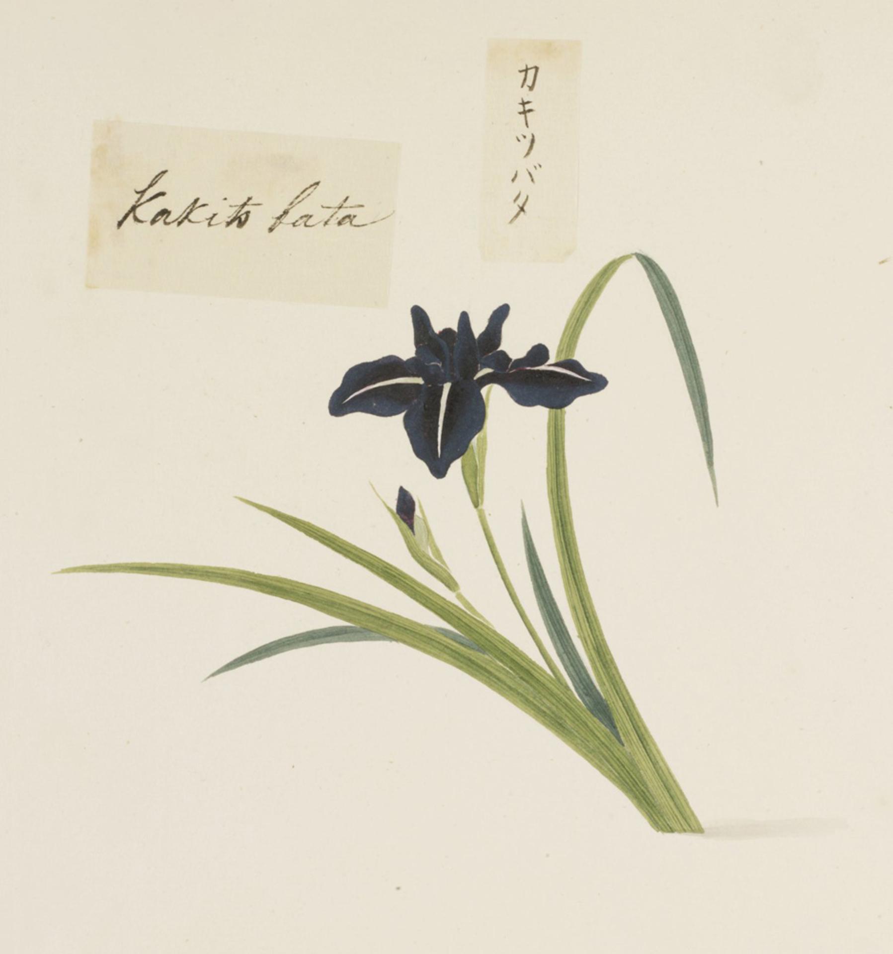 RMNH.ART.728 | Iris laevigata