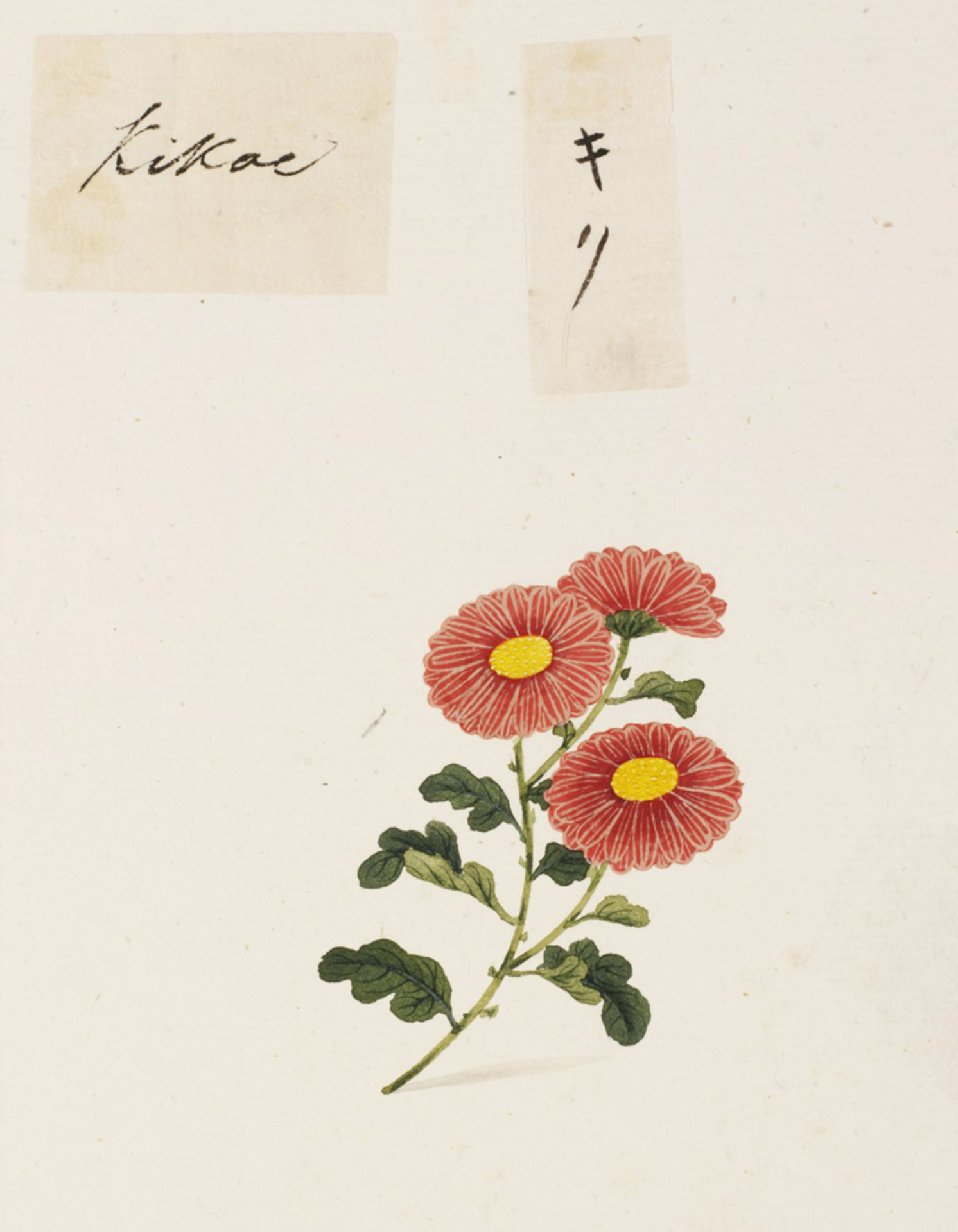RMNH.ART.732 | Chrysanthemum morifolium