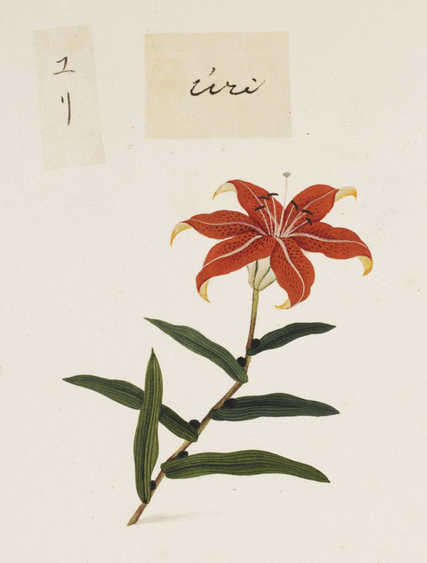 RMNH.ART.733   Lilium