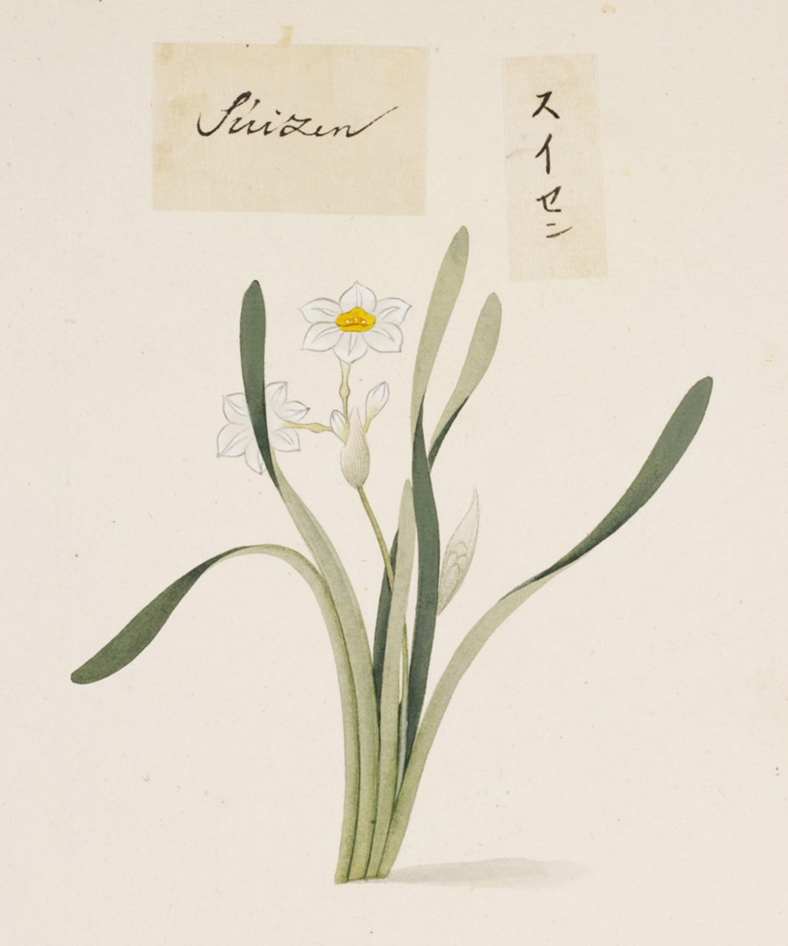 RMNH.ART.734   Narcissus