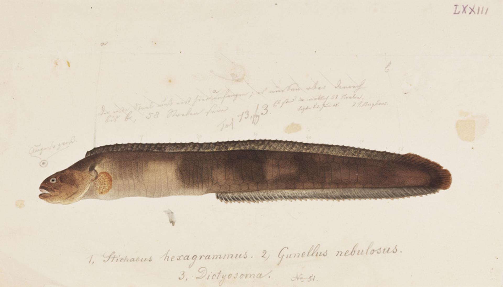 RMNH.ART.737   Dictysoma buergeri