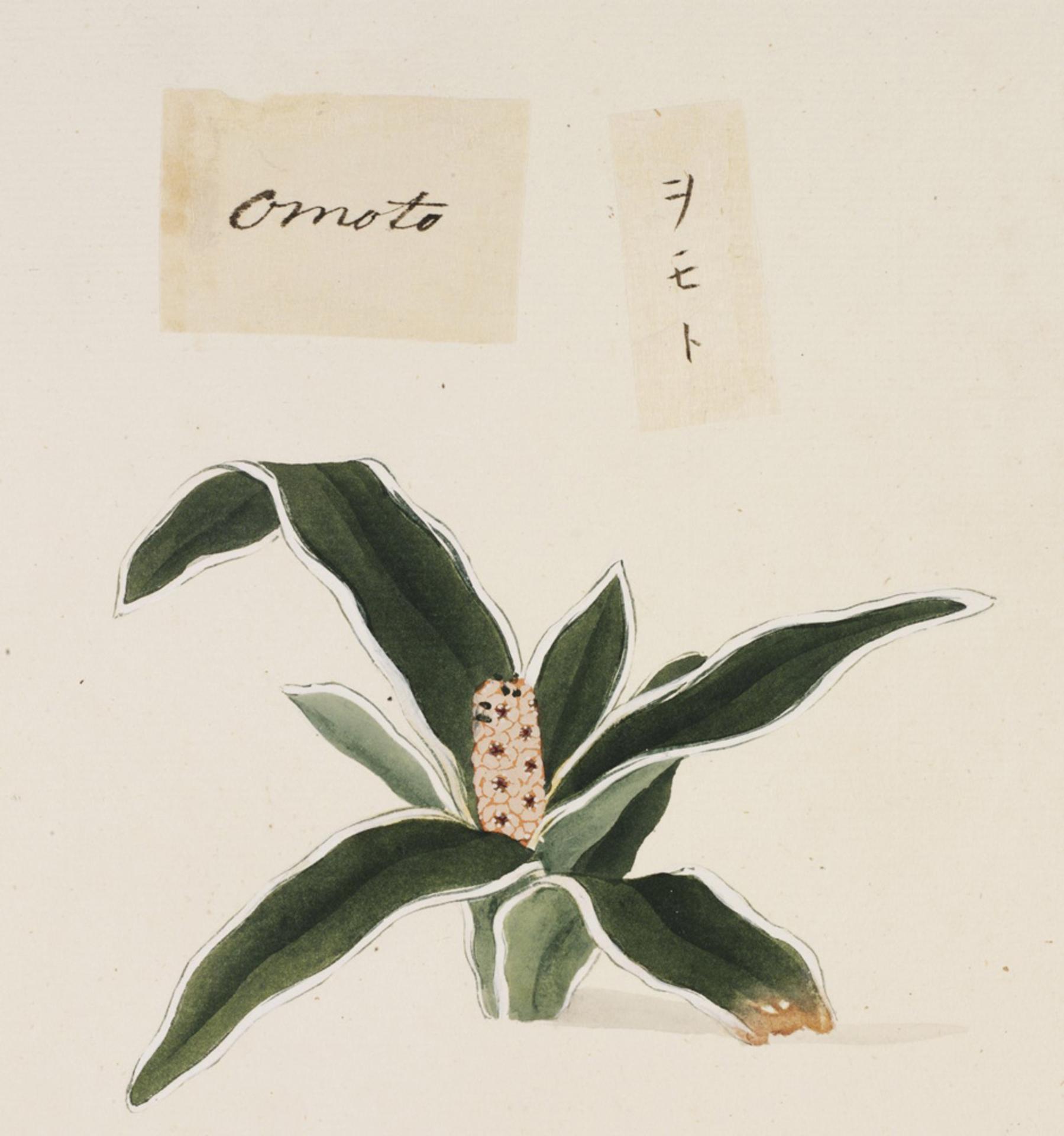 RMNH.ART.739 | Rohdea japonica