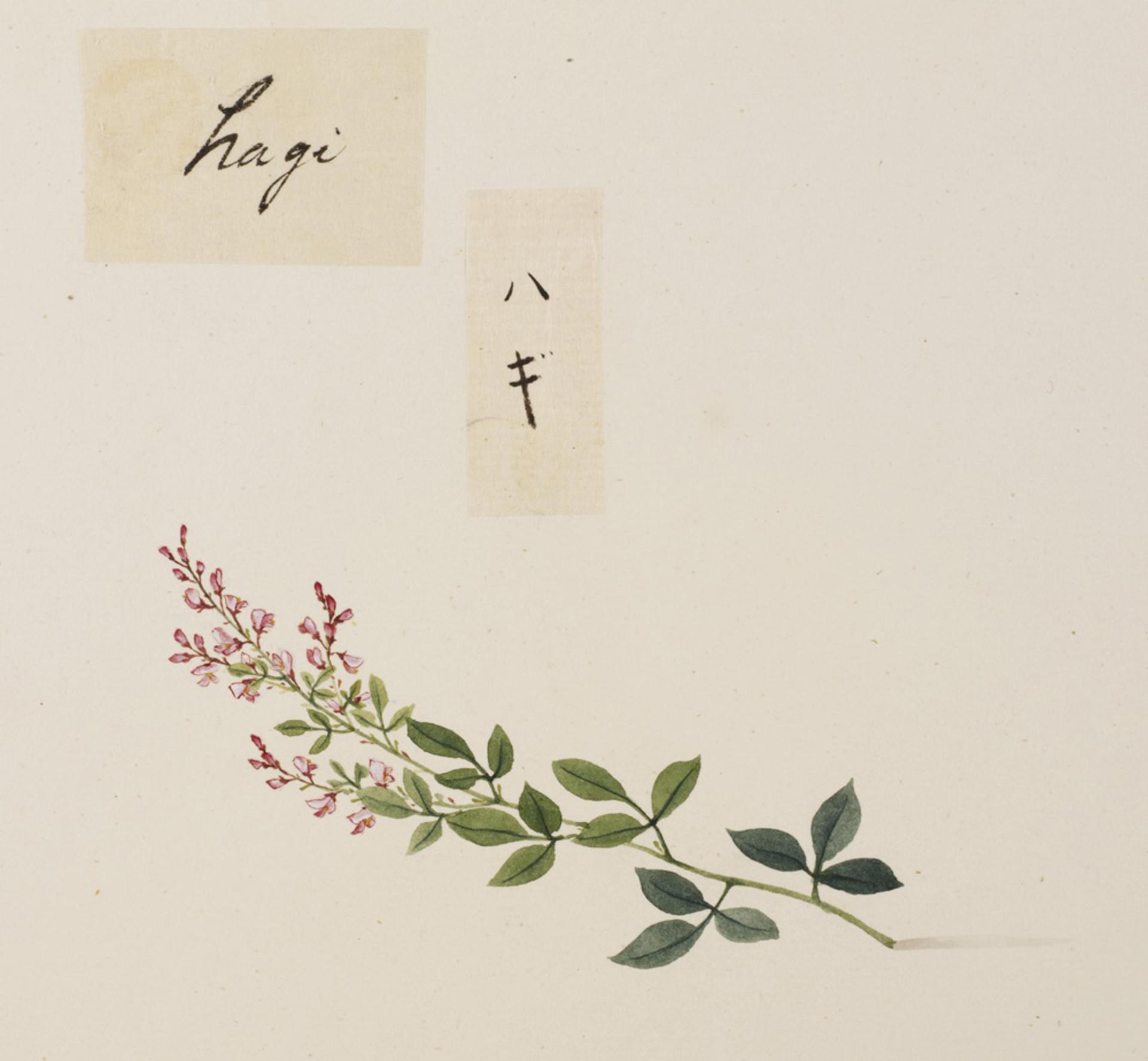 RMNH.ART.743   Lespedeza