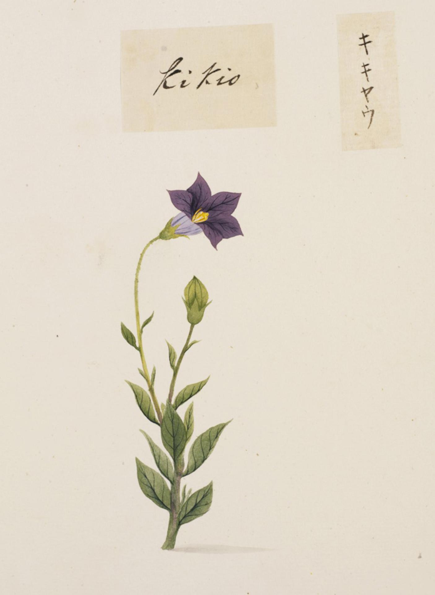 RMNH.ART.750 | Platycodon grandiflorum