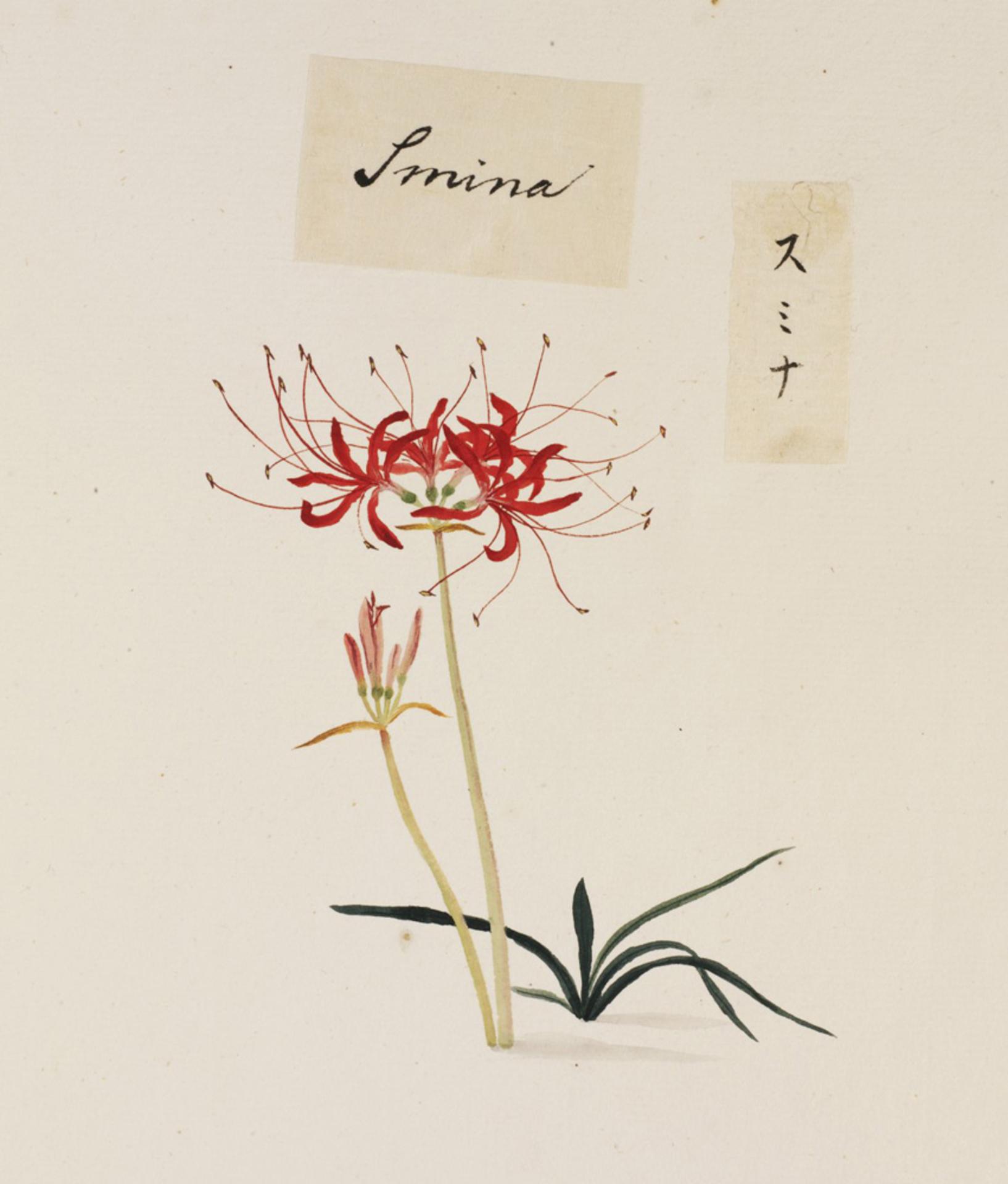 RMNH.ART.751   Lycoris radiata