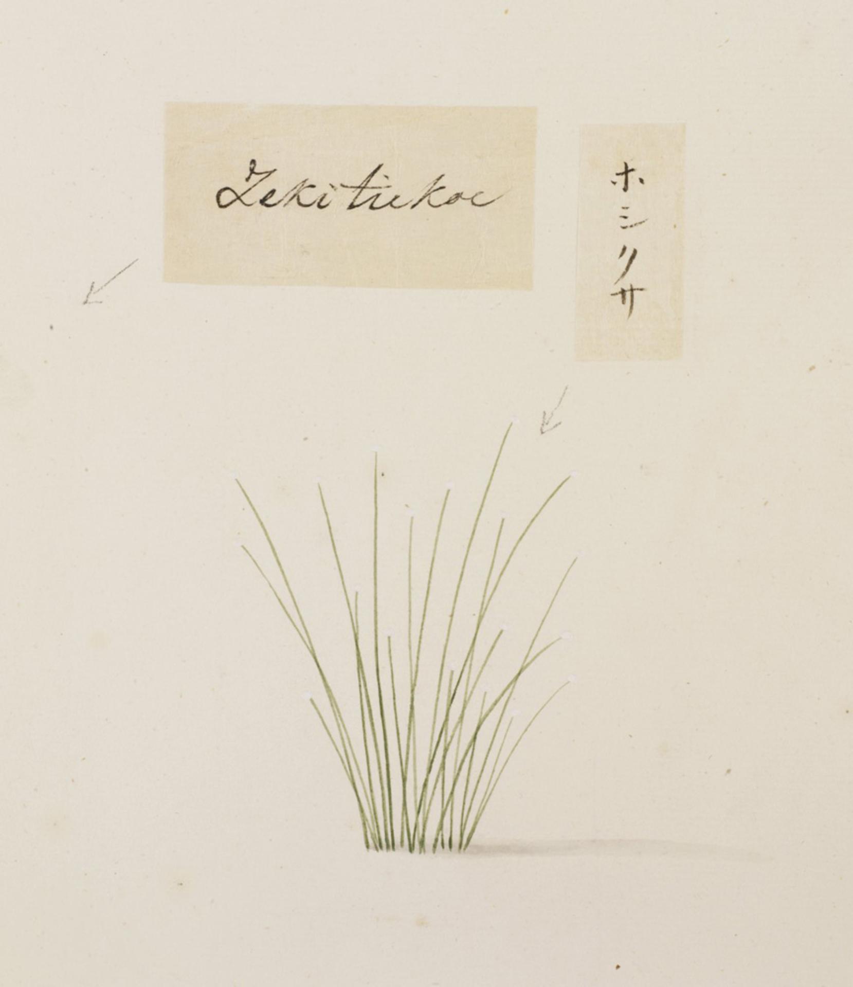 RMNH.ART.755   Eriocaulon