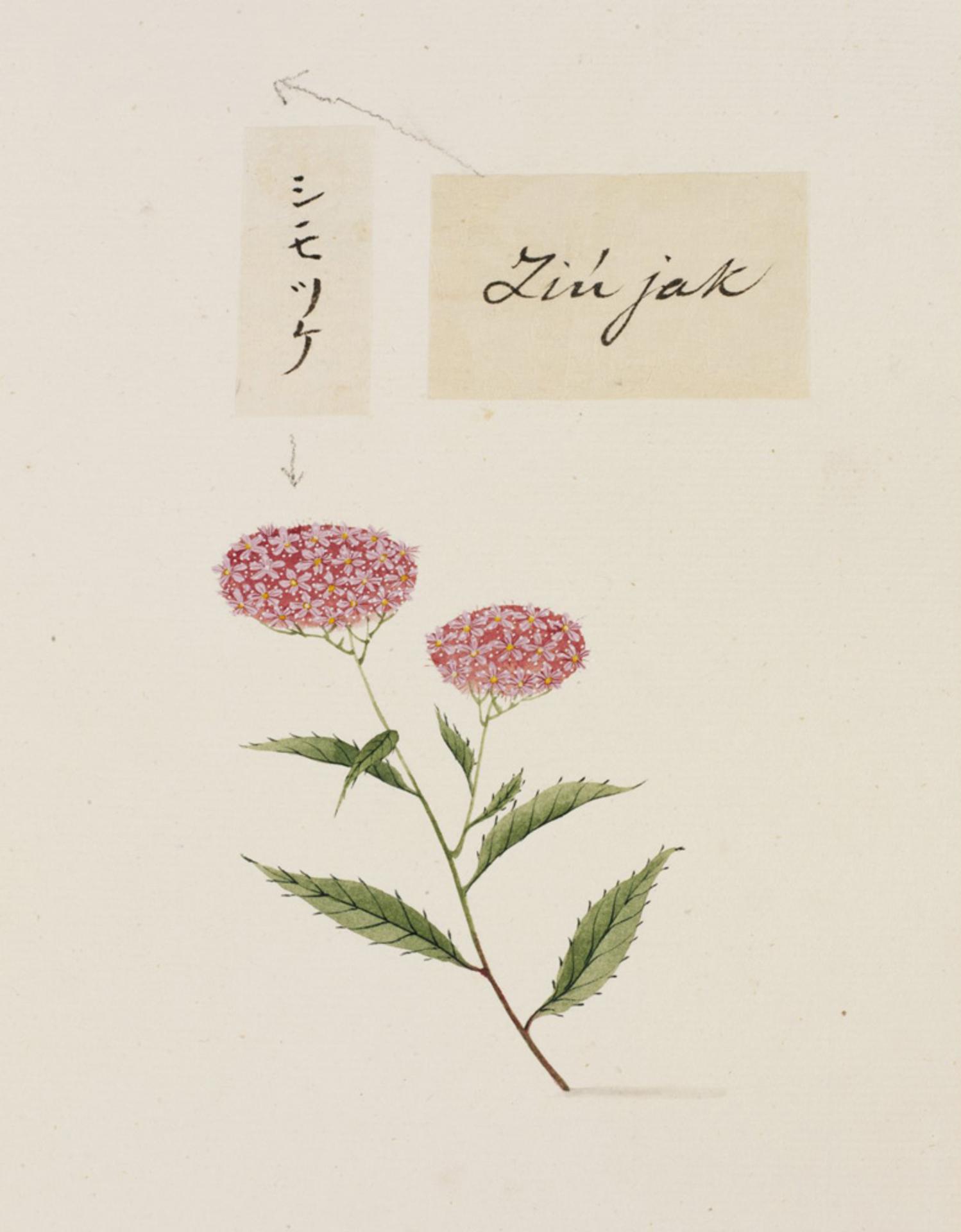 RMNH.ART.758 | Spiraea japonica