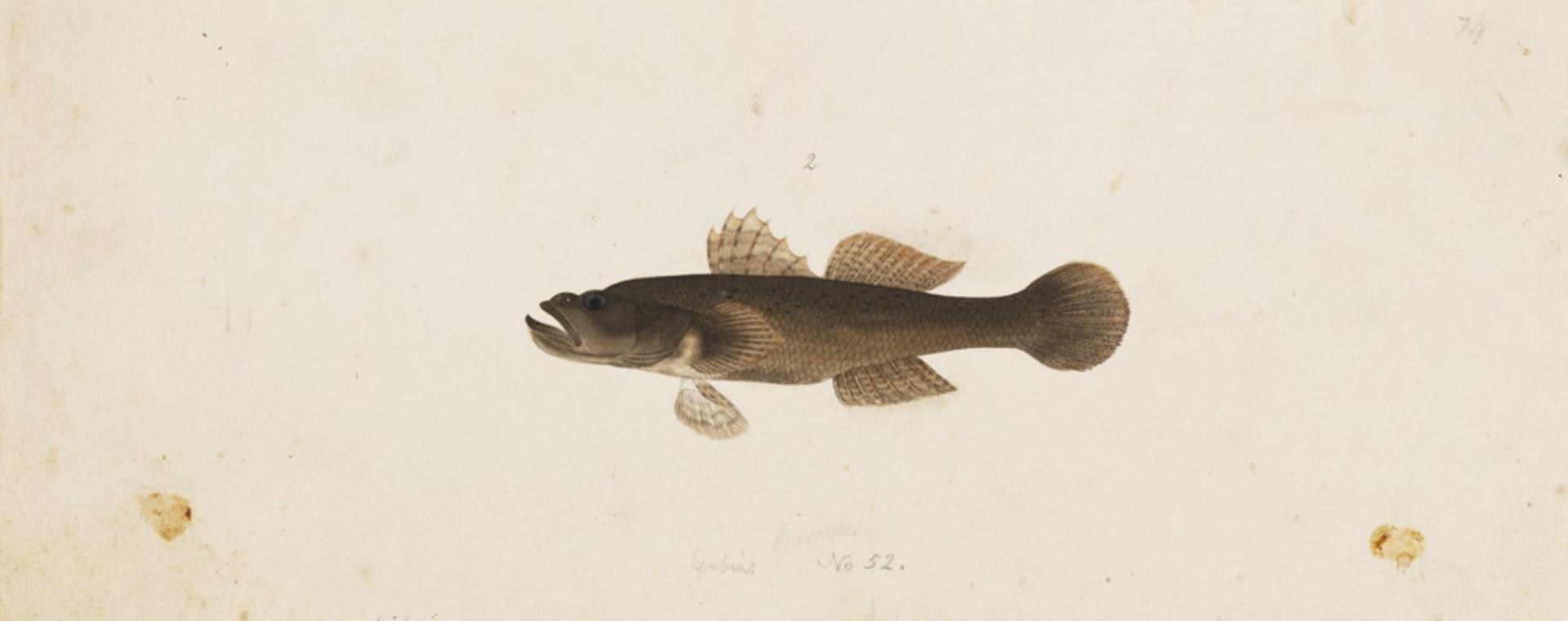 RMNH.ART.759 | Glossogobius olivaceus