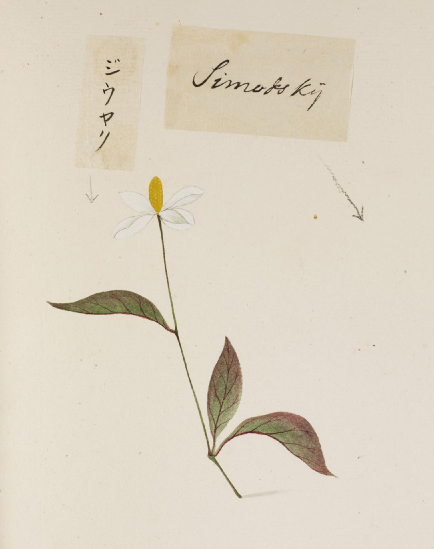 RMNH.ART.760 | Houttuynia cordata