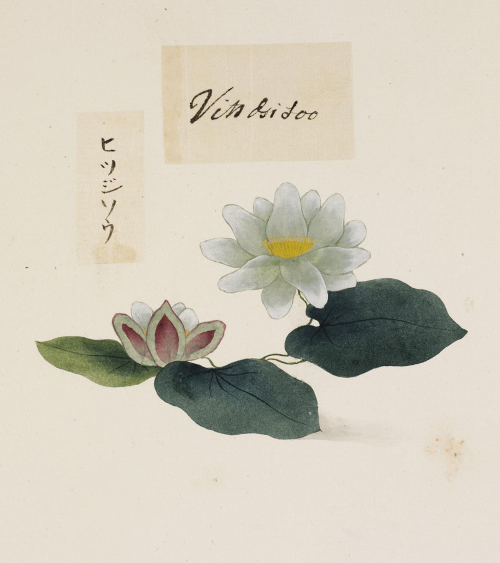 RMNH.ART.761 | Nymphaea tetragona