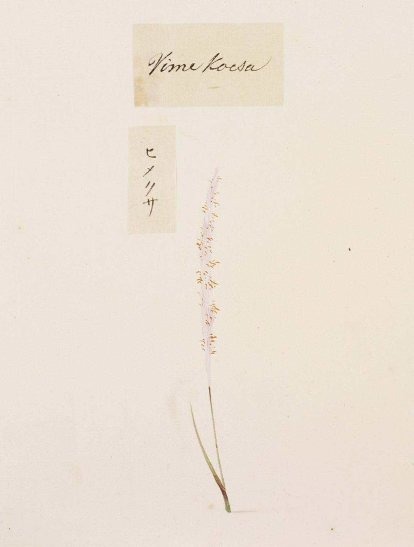 RMNH.ART.762 | Spiranthnes sinesis