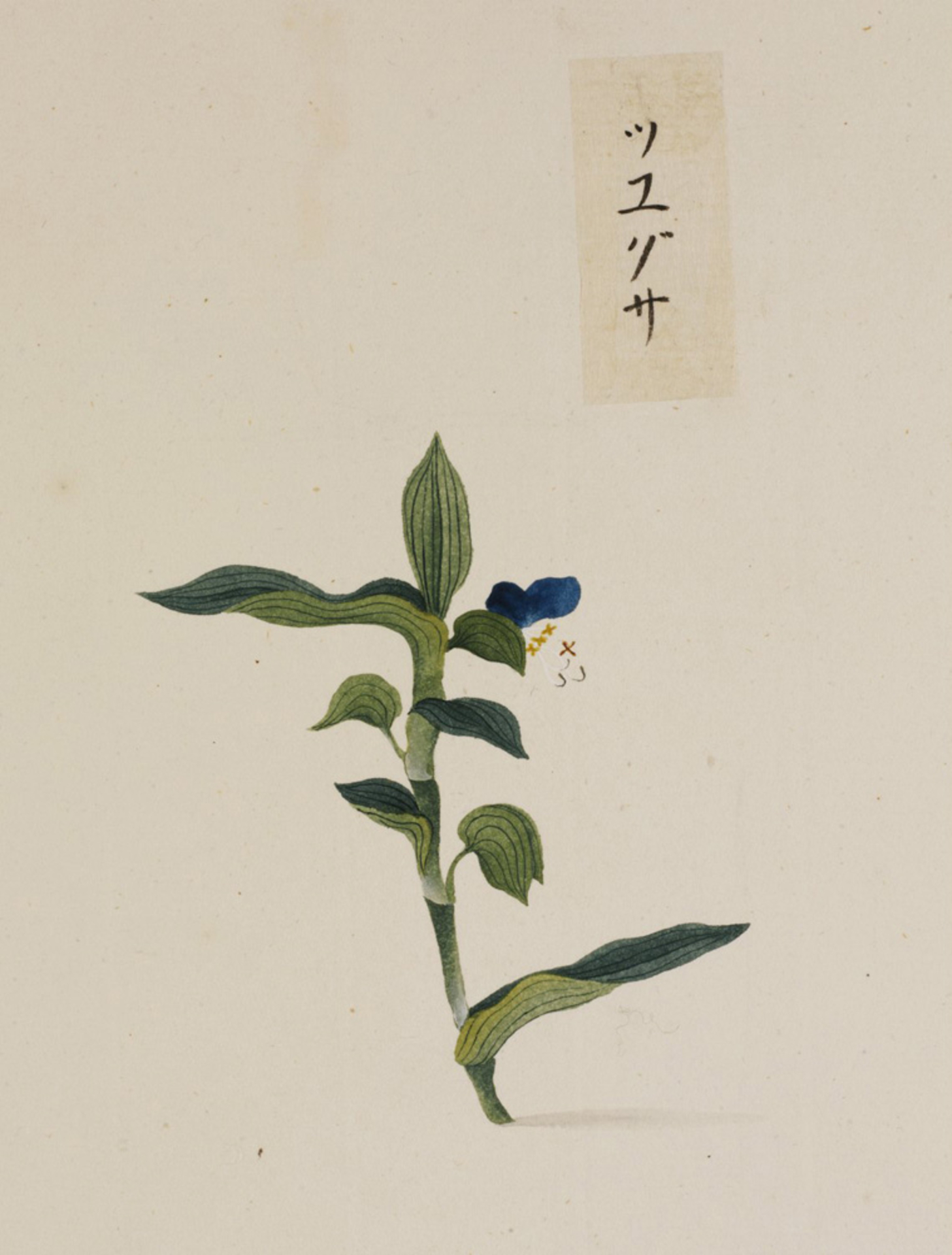 RMNH.ART.767 | Commelina communis