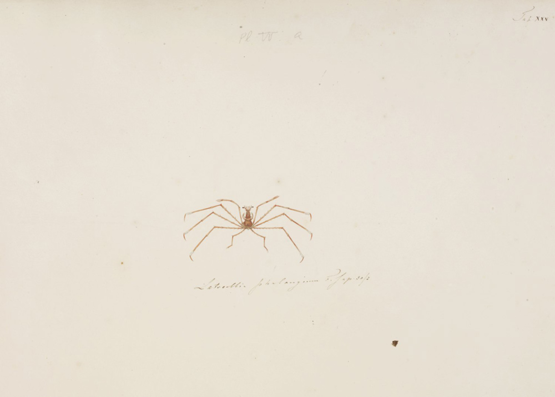 RMNH.ART.77 | Latreillia phalangium