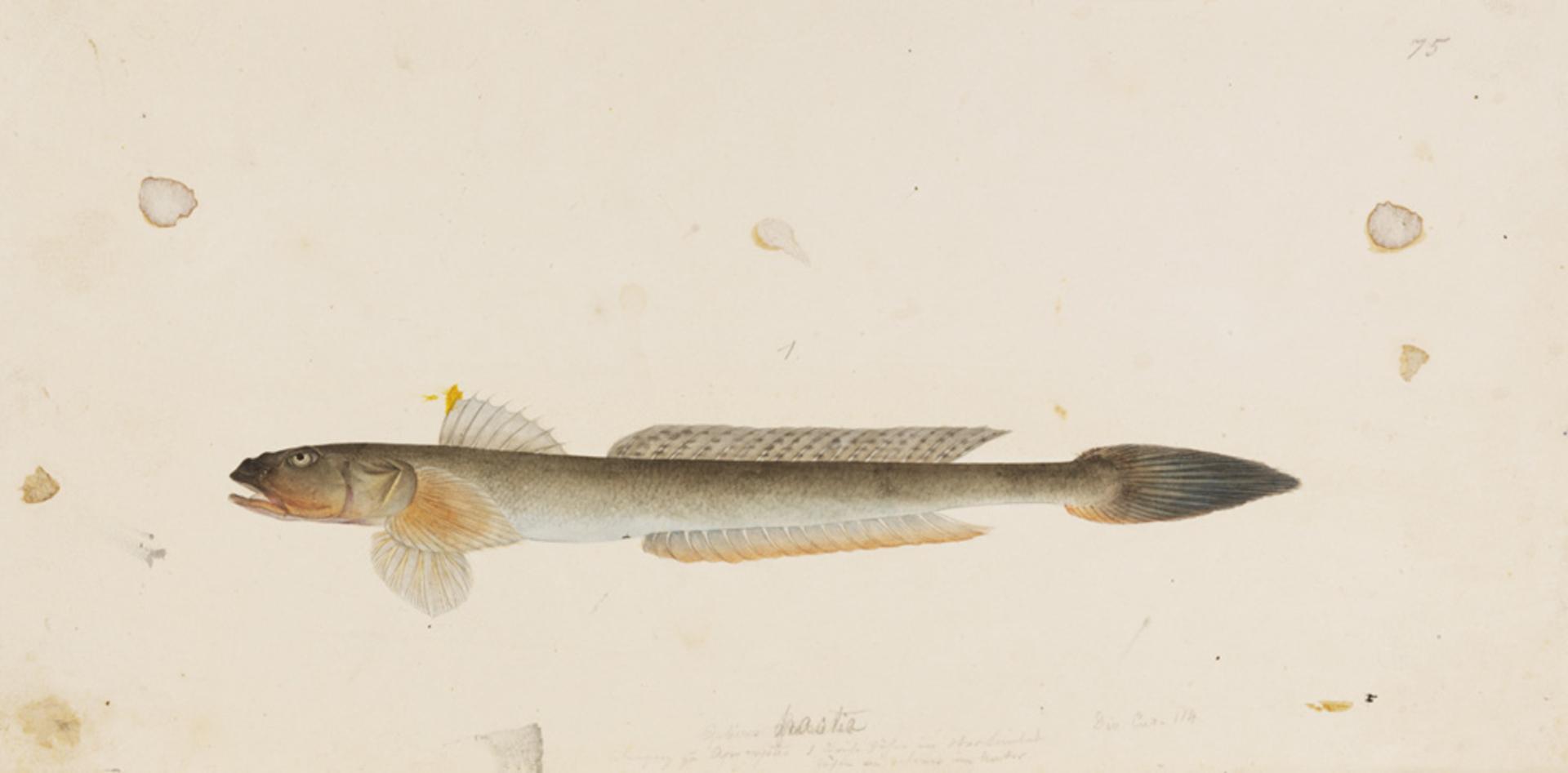 RMNH.ART.770 | Acanthogobius hasta