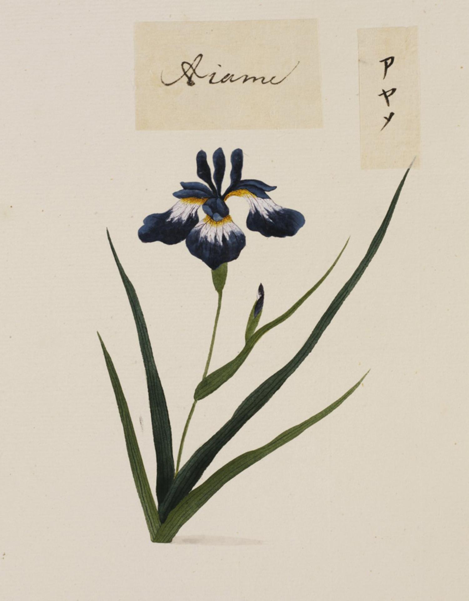 RMNH.ART.771 | Iris sanguinea