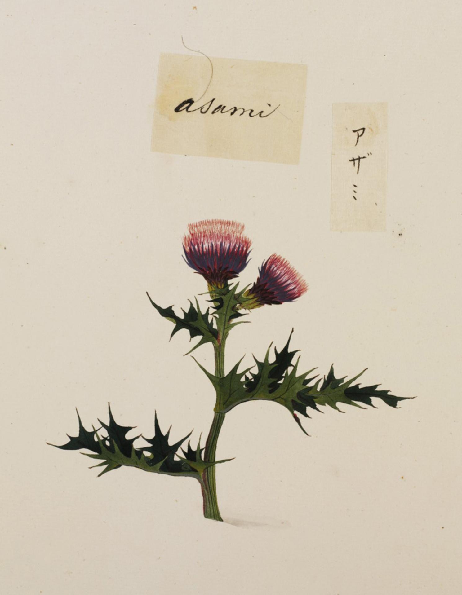 RMNH.ART.775 | Cirsium