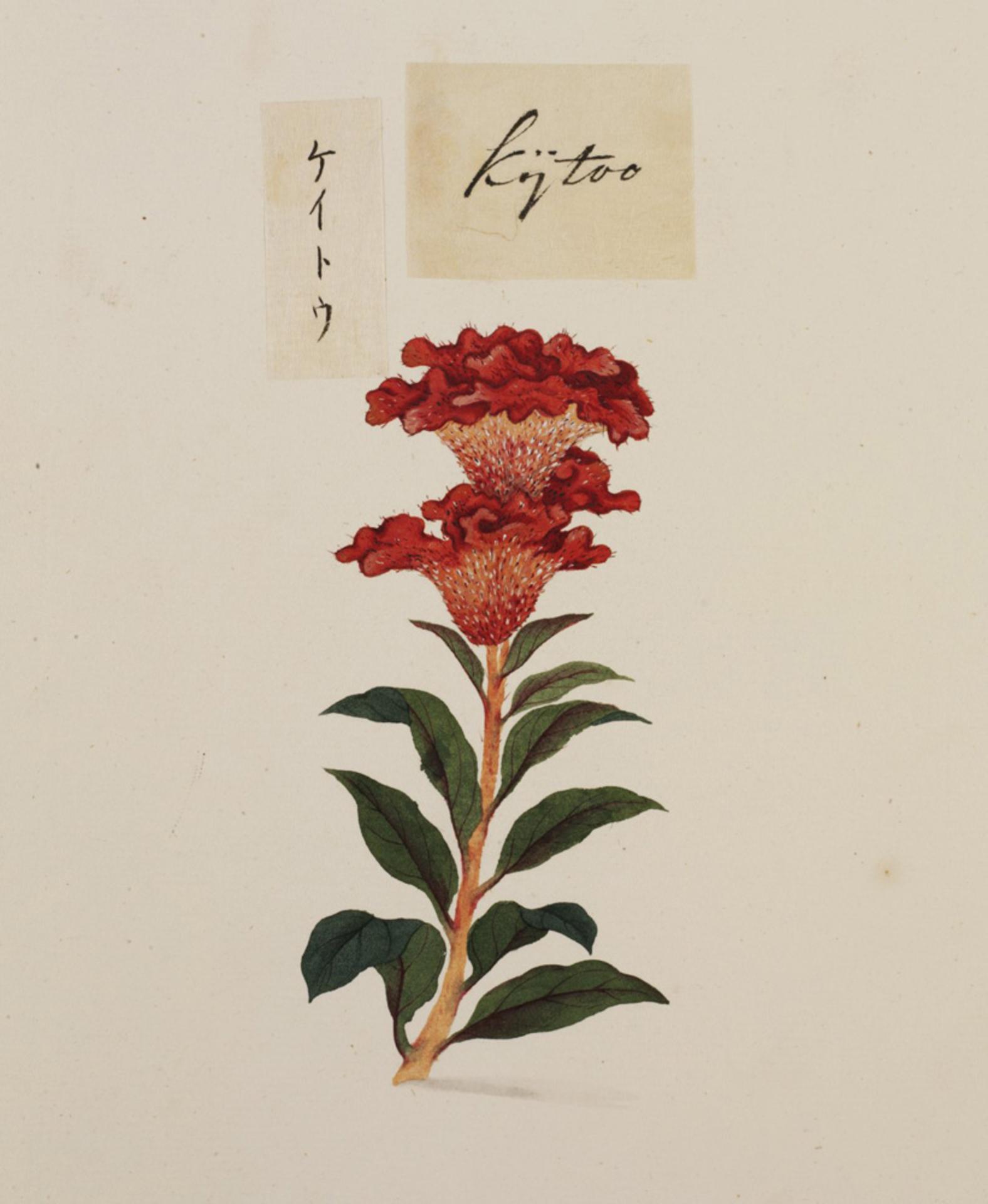RMNH.ART.776 | Celosia argentea