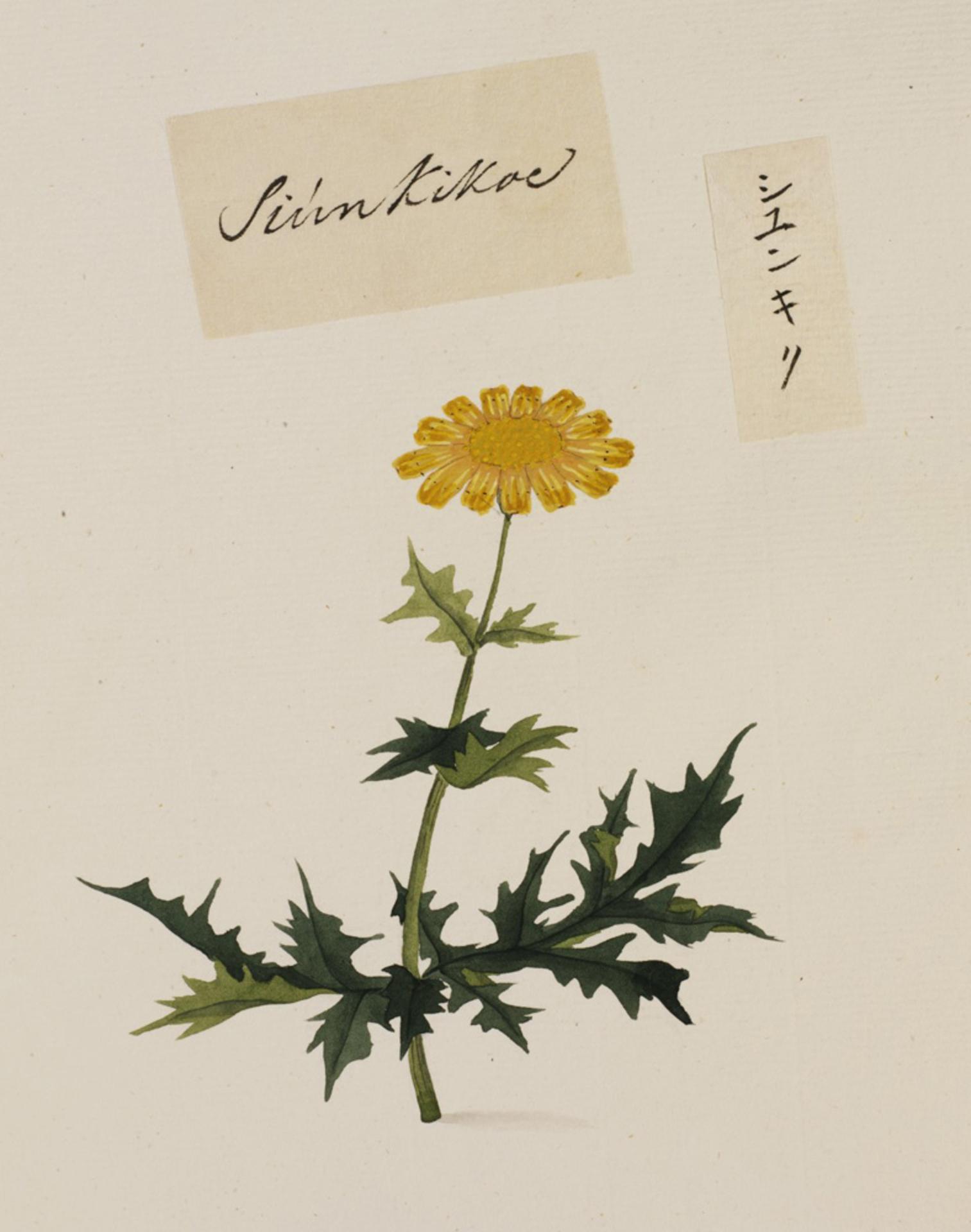 RMNH.ART.777 | Chrysanthemum coronarium