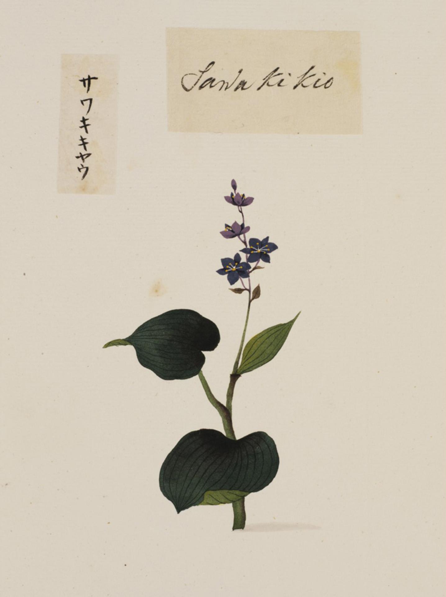 RMNH.ART.778 | Lobelia sessilifolia