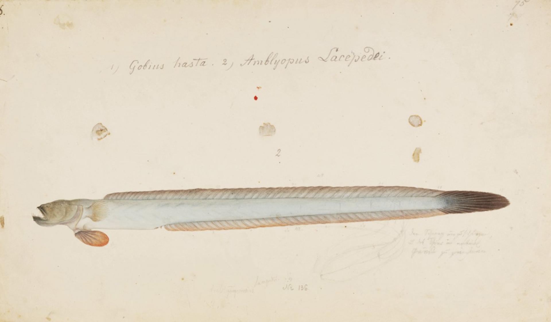 RMNH.ART.782 | Taenioides rubicundus