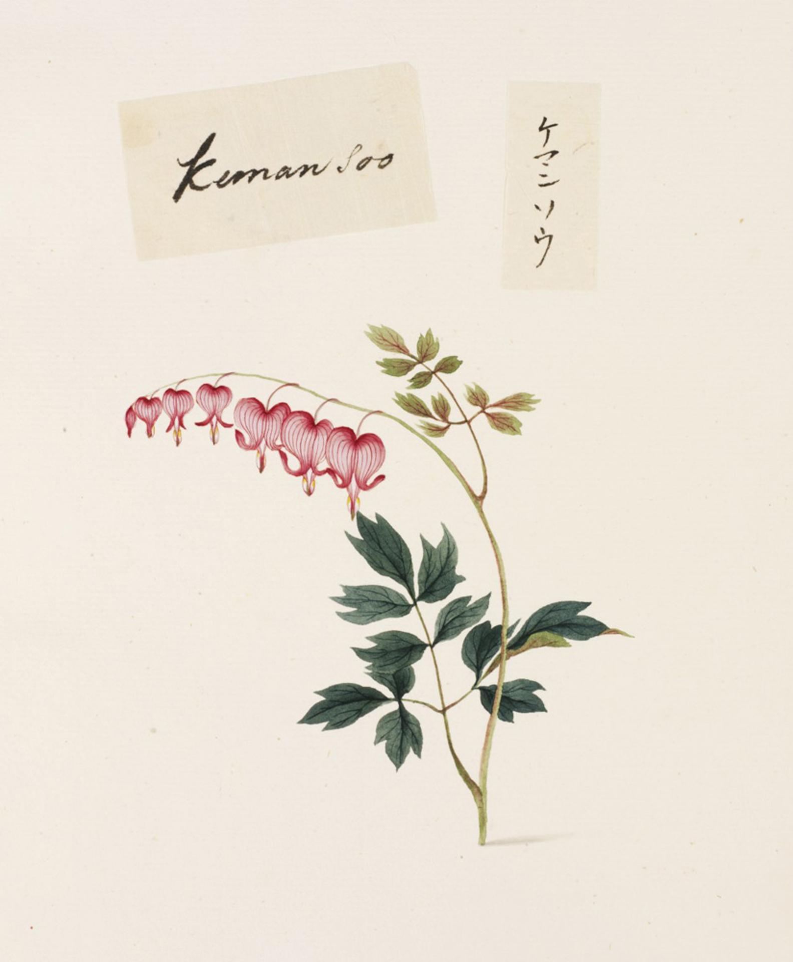 RMNH.ART.786 | Dicentra spectabilis