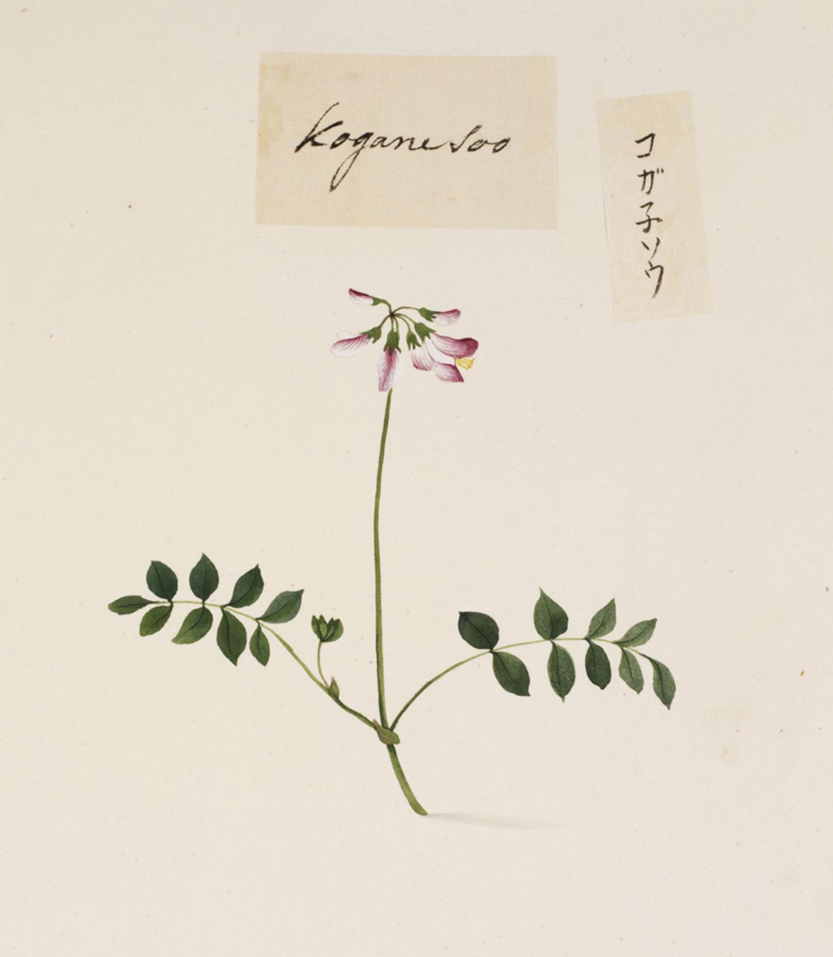 RMNH.ART.787 | Lathyrus japonicus Japonicus
