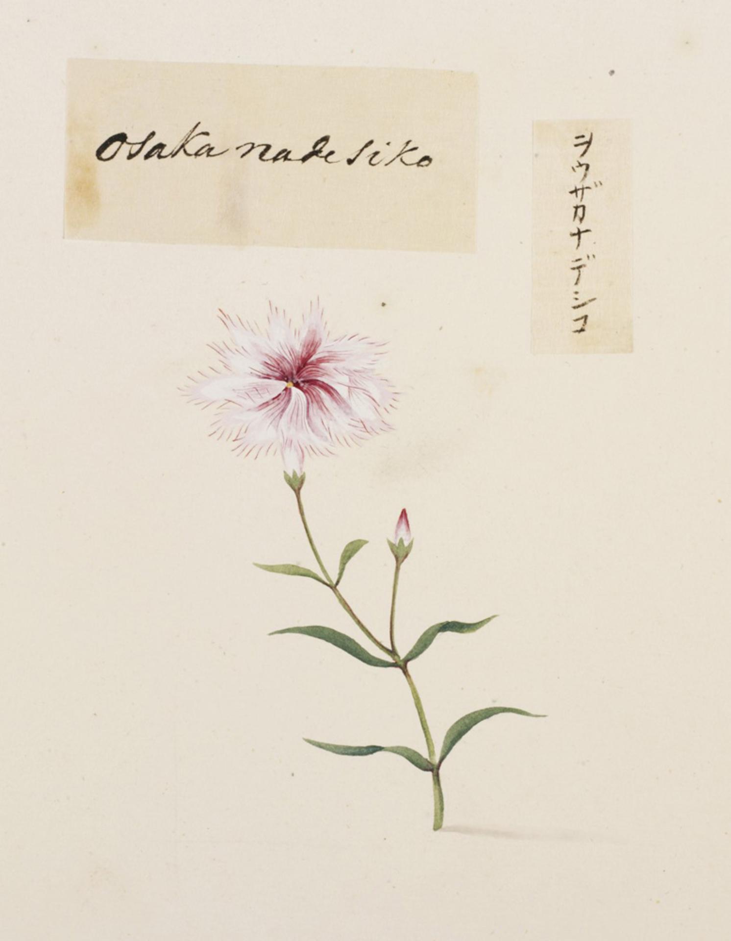 RMNH.ART.790 | Dianthus isensis