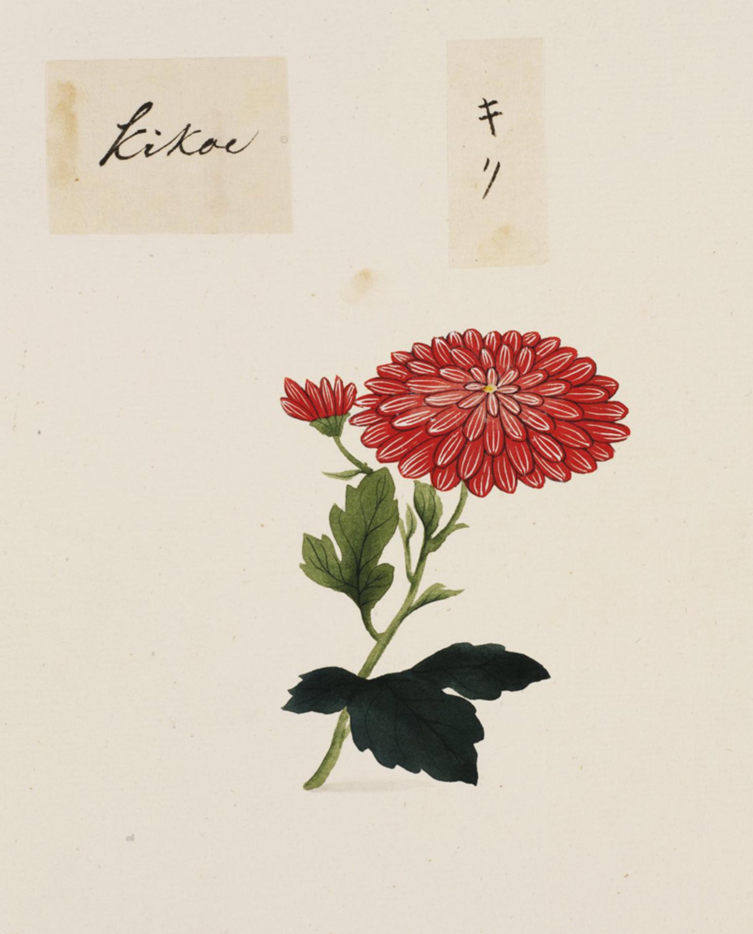 RMNH.ART.792 | Chrysanthemum morifolium