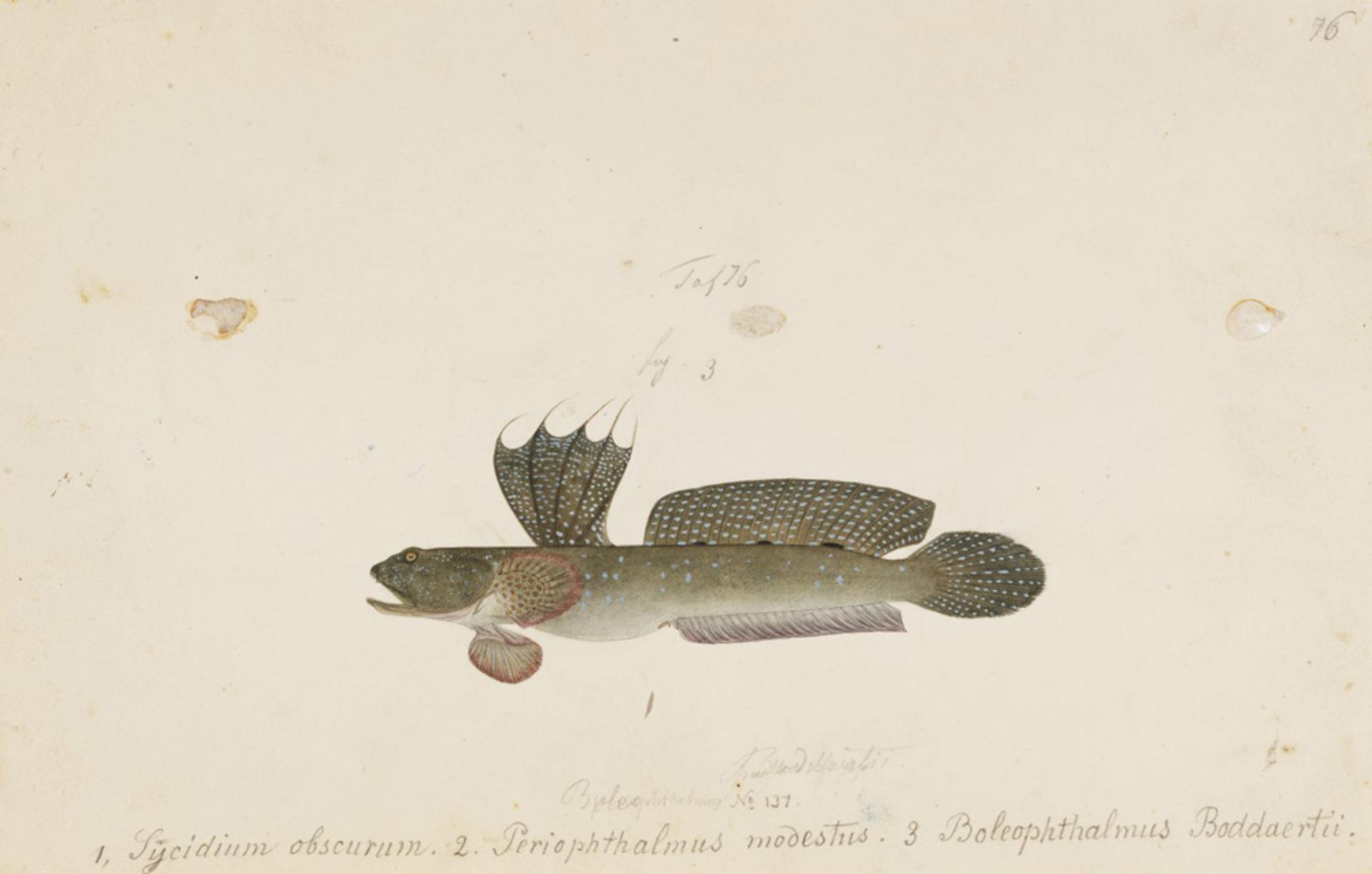 RMNH.ART.793 | Boleophthalmus pectinirostris