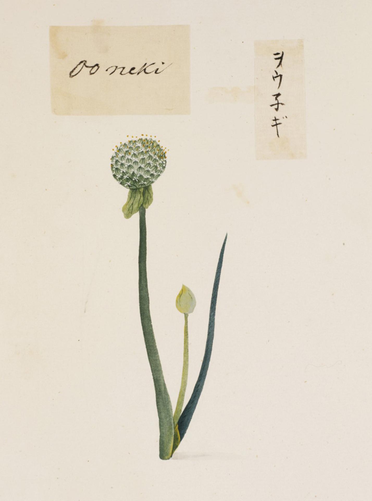 RMNH.ART.795 | Allium fistulosum