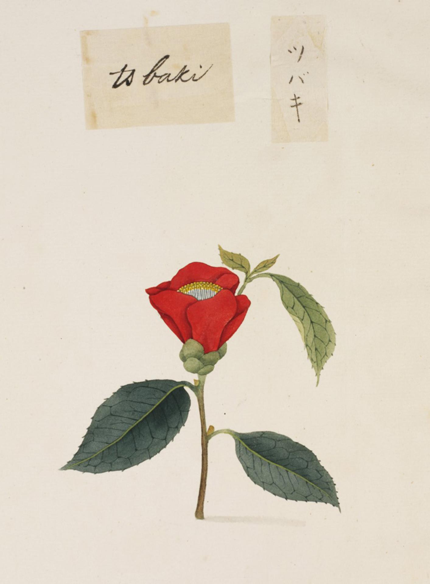 RMNH.ART.798 | Camellia japonica