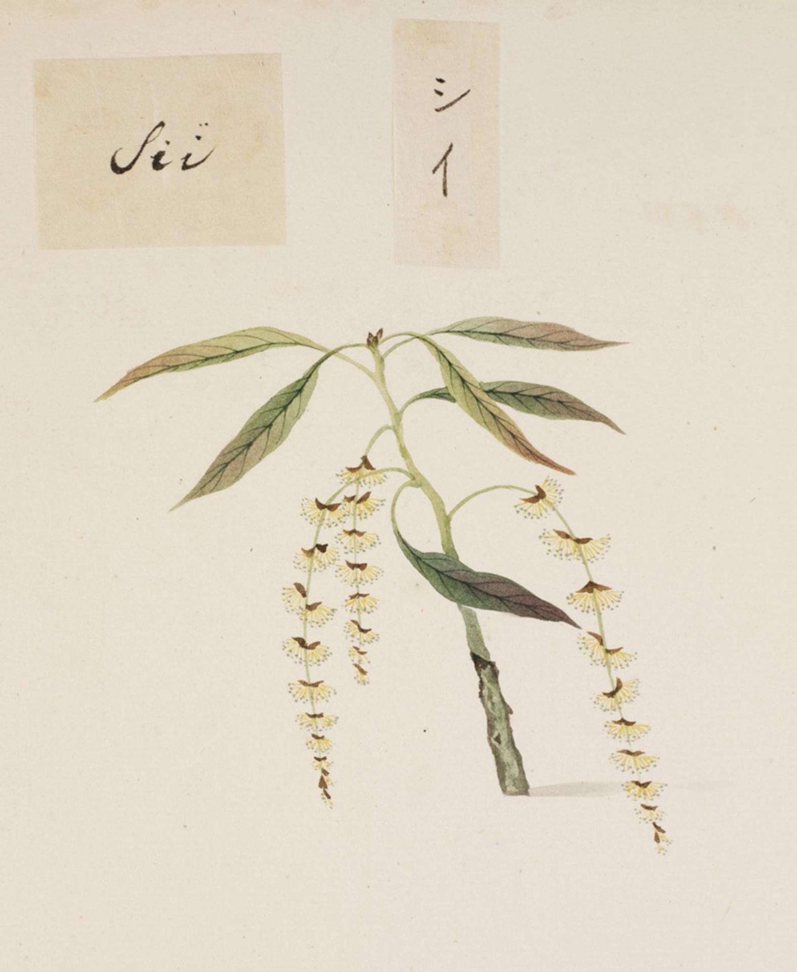 RMNH.ART.801   Castanopsis sieboldii