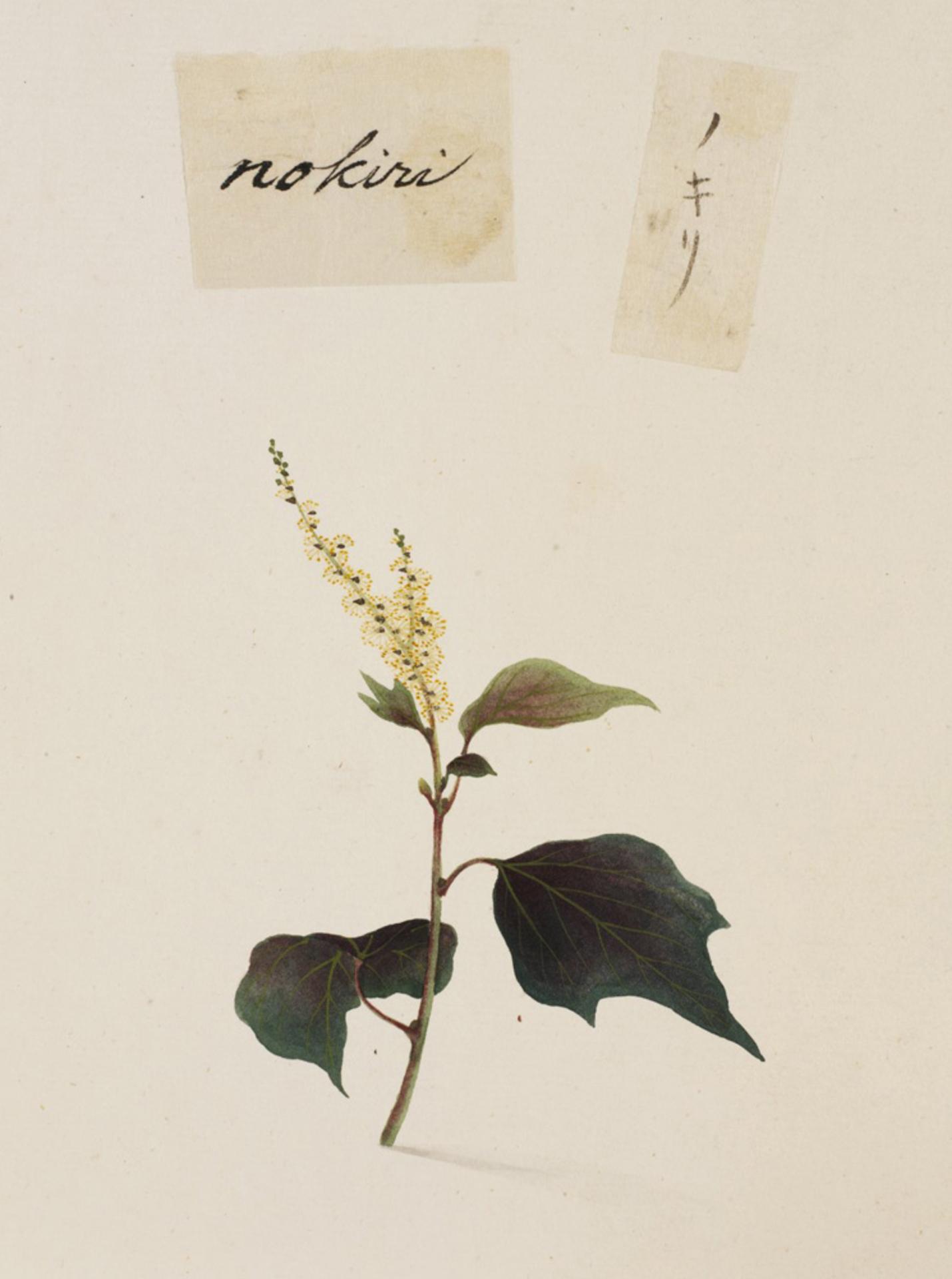 RMNH.ART.802   Mallotus japonicus