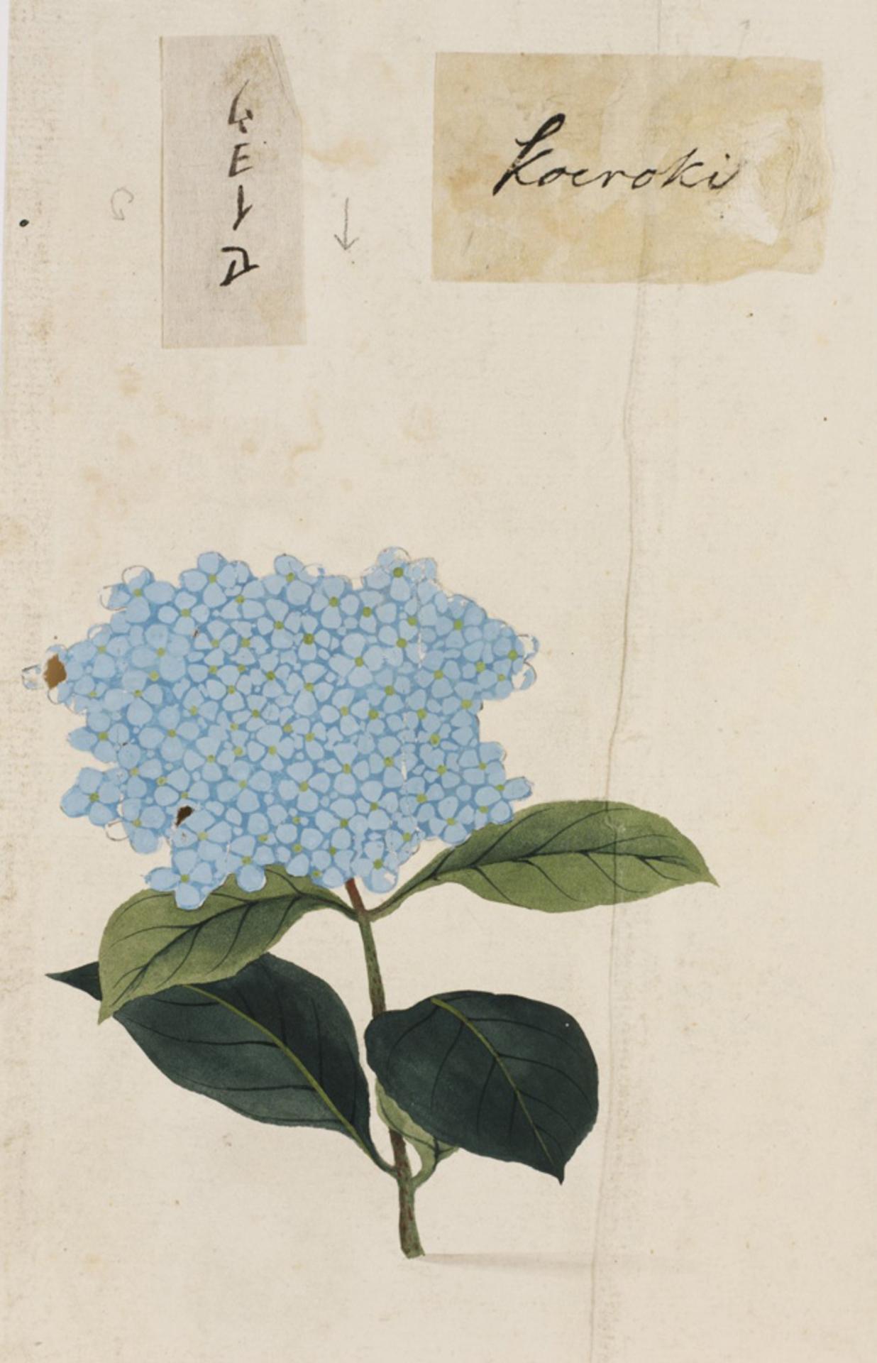 RMNH.ART.803 | Hydrangea