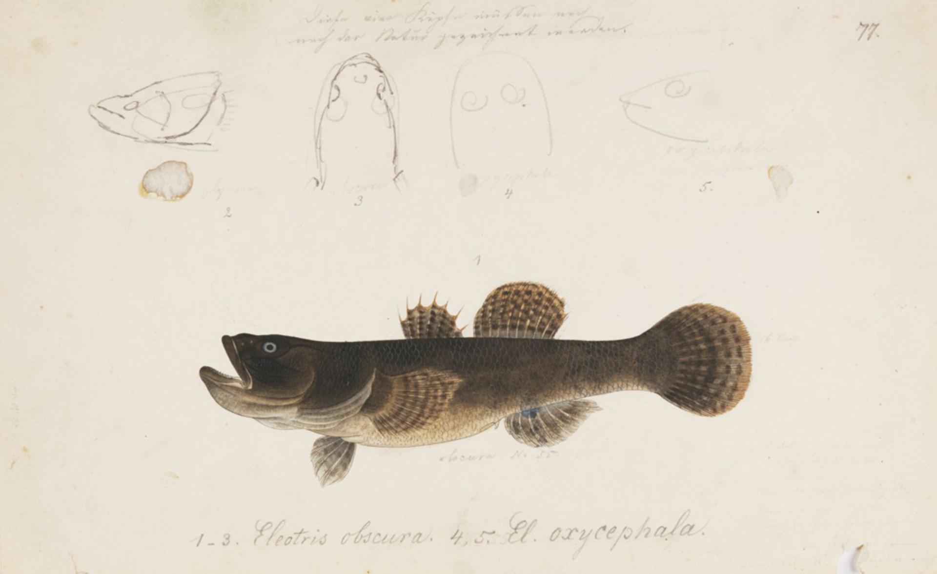 RMNH.ART.804 | Odontobutis obscura