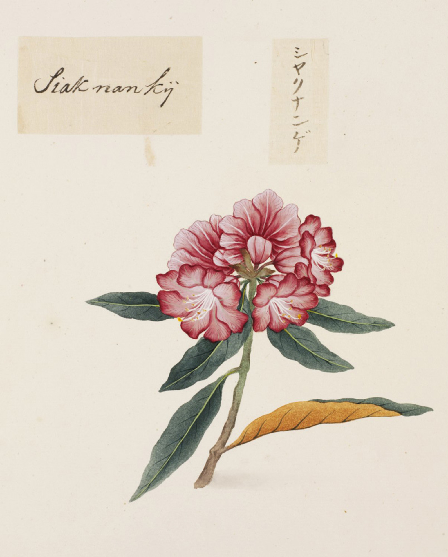RMNH.ART.809 | Rhododendron metternichii