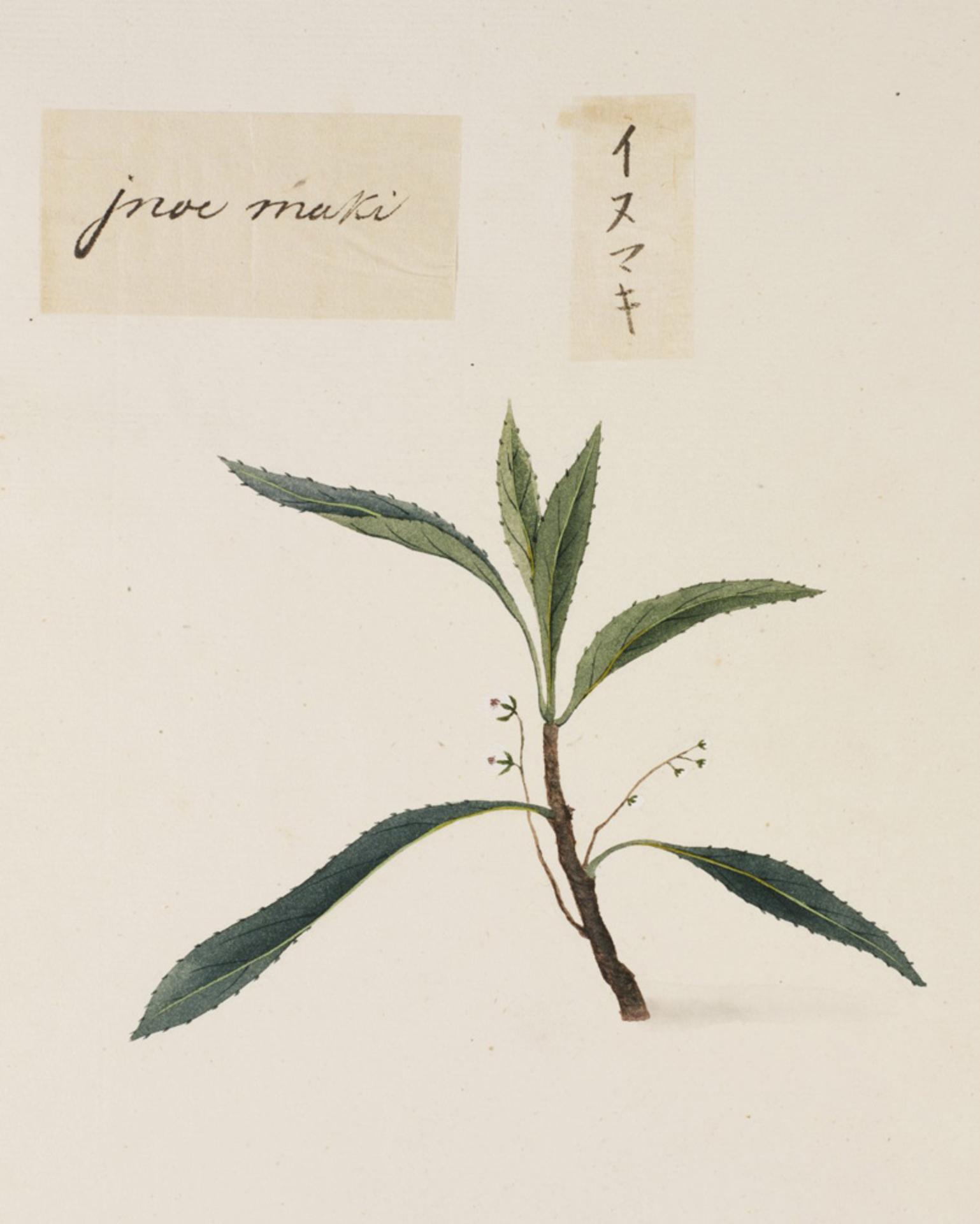 RMNH.ART.811 | Podocarpus macrophyllus