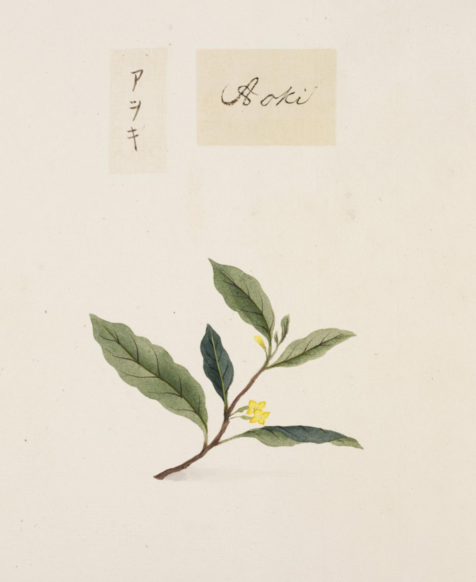 RMNH.ART.812 | Aucuba japonica