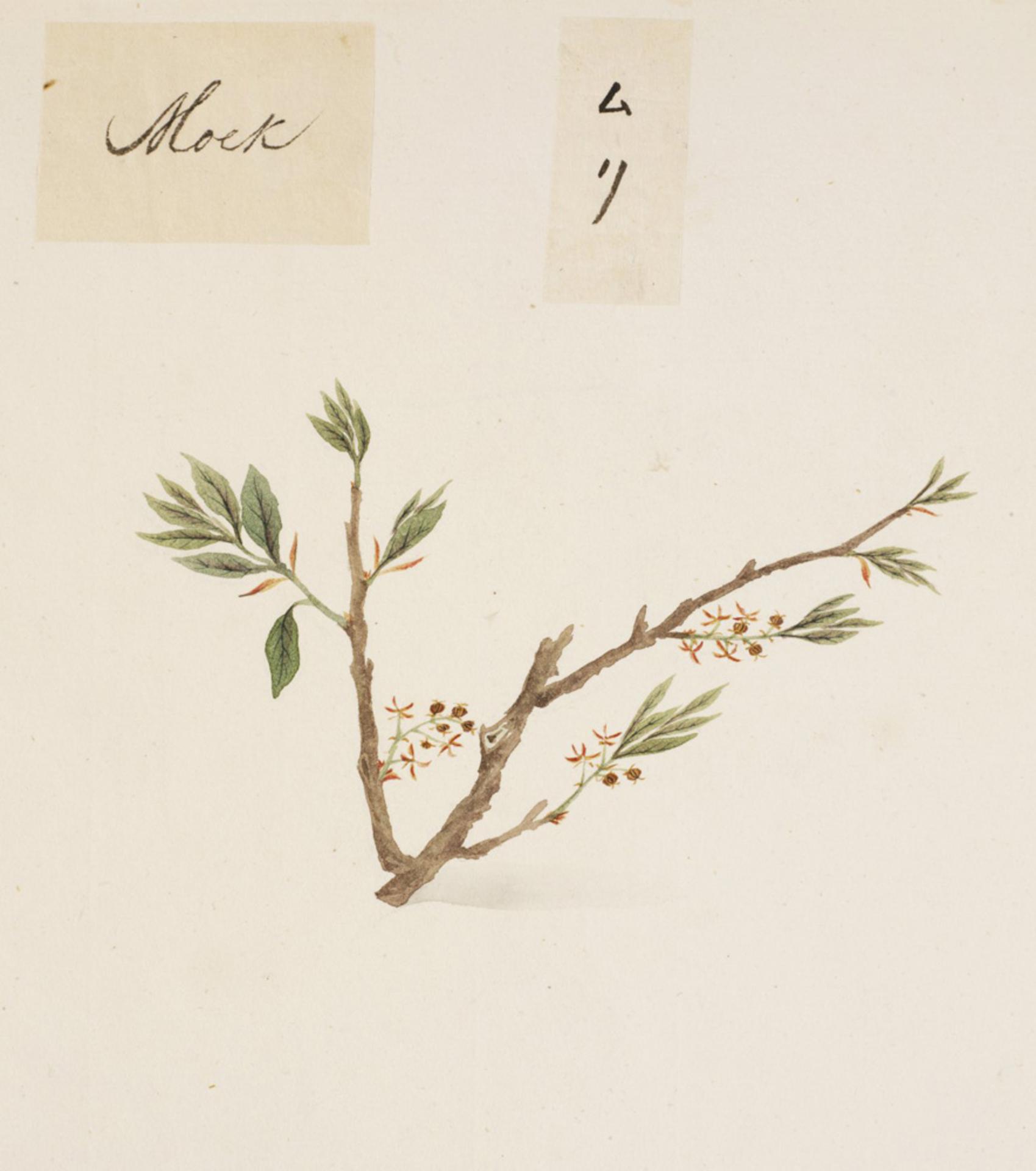 RMNH.ART.813 | Aphanathe aspera