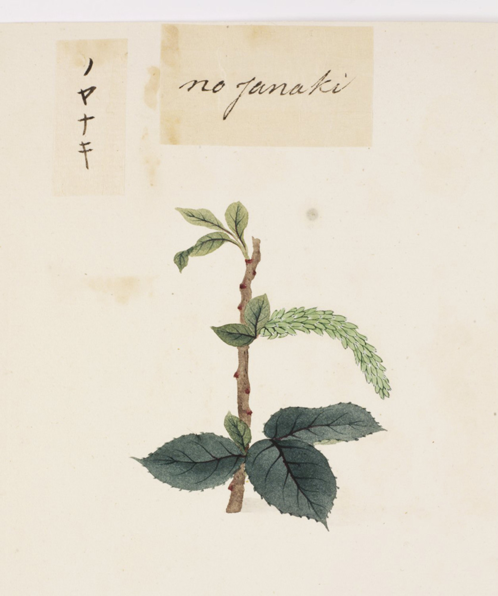 RMNH.ART.814 | Salix subopposita